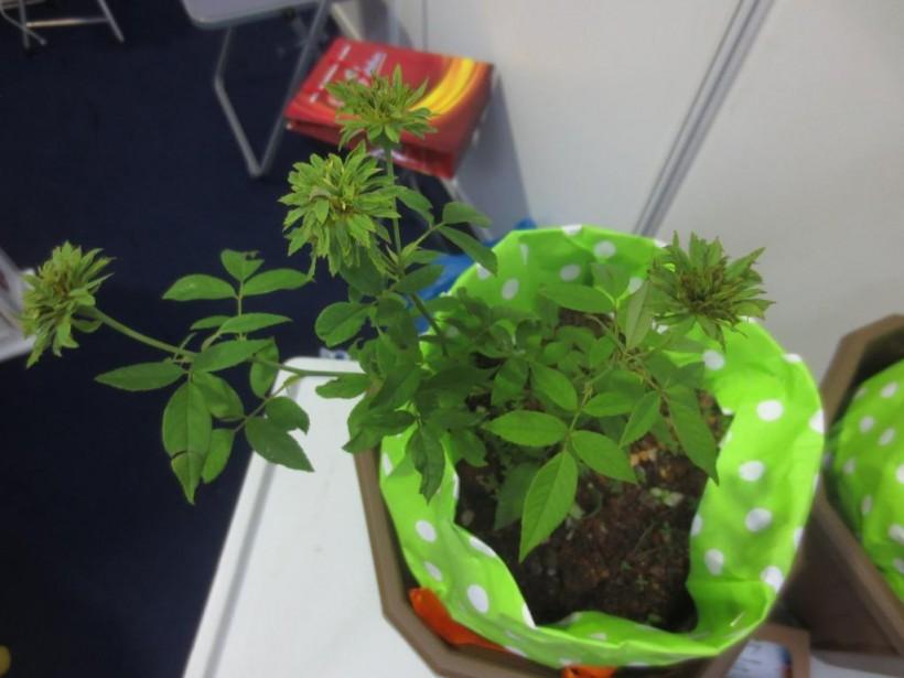 Green Rose (Hibiscus Sabdarifa)
