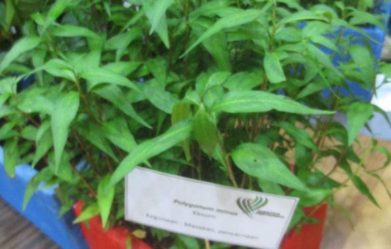 Kesum (Persicaria odorata)
