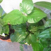 Kaduk   (Piper sarmentosum)