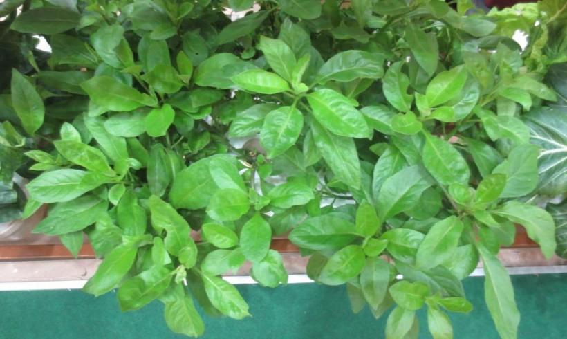 Gynura    (Gynura procumbens)