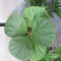 Mas Cotek  (Ficus deltoidea)
